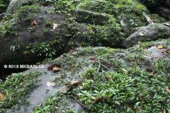 bucephalandra-in-a-wild