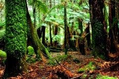 tasmania-tarkine-forest