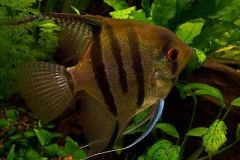 Angelfish-South-America-2