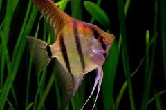Angelfish-South-America