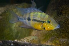 Firemouth-cichlids-thorichthys-pasionis-yellow