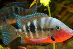 Firemouth-cichlids