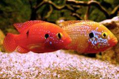 Hemichromis-cichlids-fire-jewel-cichlid