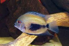 Uaru-amphiacanthoides-2