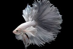 betta-fish-blackwater-aquarium