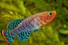 bluefin-notho-killifish