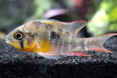 bolivian-ram-cichlids