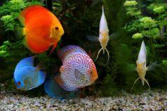 discus-fish-2