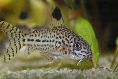 juli-corydoras-catfish