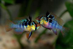 ram-cichlids-electric-blue