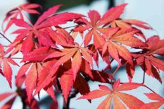 Japanese-maple-–-Acer-palmatum