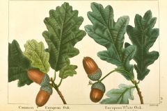 Pedunculate-Oak-–-Quercus-robur