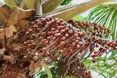 buriti-moriche-palm
