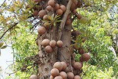 canonnball-tree-guianensis