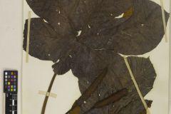 cecropia-membranacea-plant