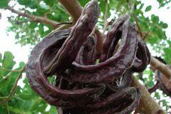 legume-tree-pods