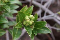 sapium-glandulosum-plant