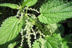 urticaceae-stinging-nettle