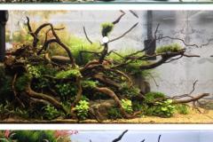 Spider wood aquascape