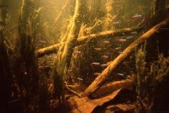 neon-tetras-in-amazon-underwater