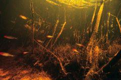 rummy-nose-tetras-in-biotope-aquarium-natural