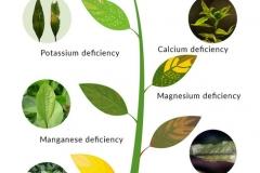 plants-deficiencies-3