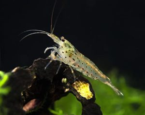 amano shrimps