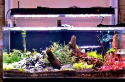 75-gallons aquarium-aquascape-update-5-weeks-min